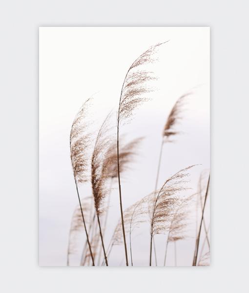 wuivend riet botanisch